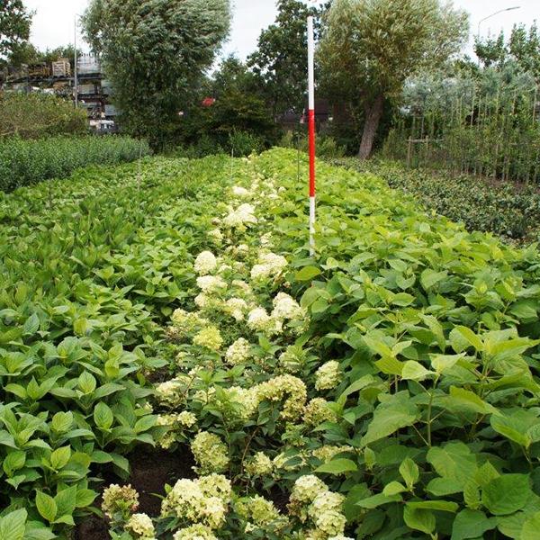 hydrangea-in-cultivaris